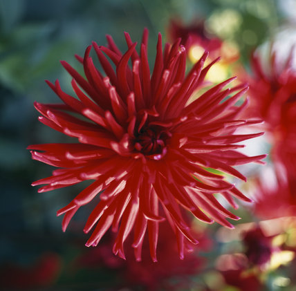 Close view of a Dahlia