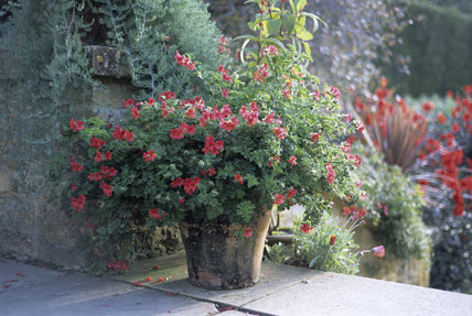 Close view of a planted terracotta container with red flowers on the steps above the Red Border at Hidcote