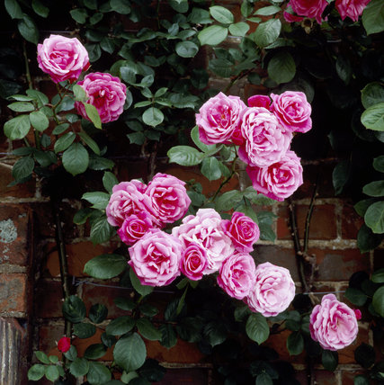 Rose 'Etude' at Chartwell
