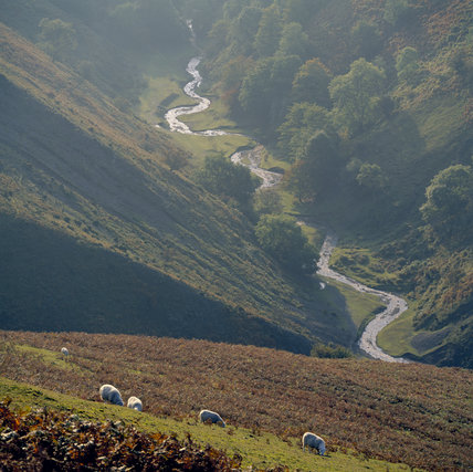 Long Mynd, sheep grazing above Ashes Hollow in autumn with a stream in the distance