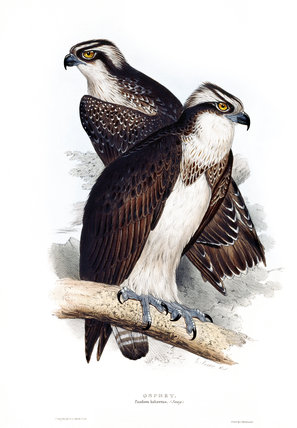 BIRDS OF EUROPE - OSPREY (Pandion haliaetus) by John Gould, London 1837, from the Library at Blickling Hall