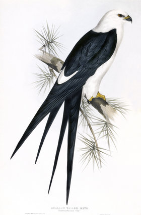 BIRDS OF EUROPE - SWALLOW TAILED KITE (Nauclerus furcatus) by John Gould, London 1837, from the Library at Blickling Hall