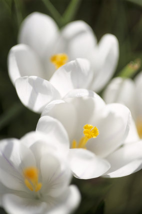 Close-up view of Crocus flowers at Sissinghurst