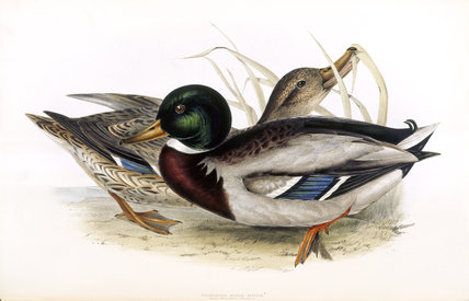 BIRDS OF EUROPE - COMMON WILD DUCK (Anas boschas) by John Gould, London 1837, from the Library at Blickling Hall