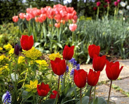 Red tulips, muscari, fritillaria and pink tulips in the background, on the Lime Walk at Sissinghurst in March