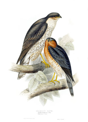 BIRDS OF EUROPE - SPARROW HAWK (Falco nisus) by John Gould, London 1837, from the Library at Blickling Hall
