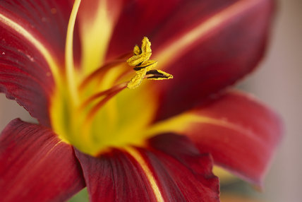 Very close view of the centre of a Hemerocallis fulva, liliaceae, Day lily at Hidcote Manor Garden