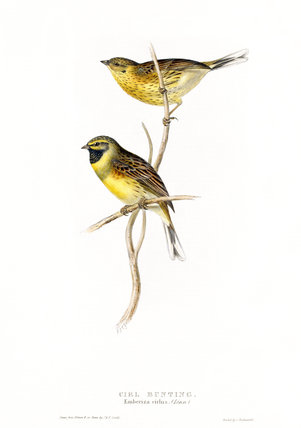 BIRDS OF EUROPE - CIRL BUNTING, (Emberiza cirlus) by John Gould, London 1837, from the Library at Blickling Hall