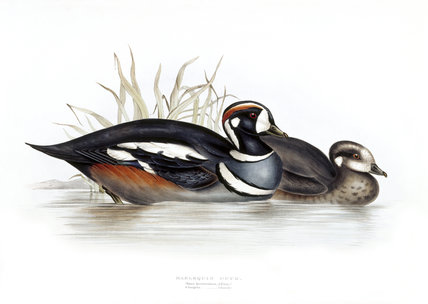 BIRDS OF EUROPE - HARLEQUIN DUCK (Anas histrionica) by John Gould, London 1837, from the Library at Blickling Hall