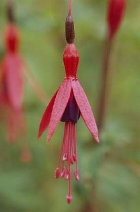 Fuchsia, onagraceae, at Hidcote Manor Garden