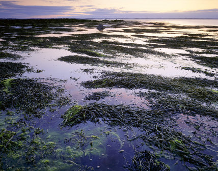 Seaweed beds, Ballyhenry Island & Strangford Island in Strangford Lough, County Down