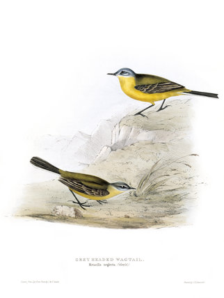 BIRDS OF EUROPE - GREY HEADED WAGTAIL (Motacilla neglecta) by John Gould, London 1837, from the Library at Blickling Hall