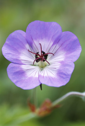 Close view of Geranium wallichianum 'Buxton's Blue at Hidcote Manor Garden