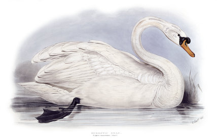 BIRDS OF EUROPE - DOMESTIC SWAN (Cygnus mansuetus) by John Gould, London 1837, from the Library at Blickling Hall