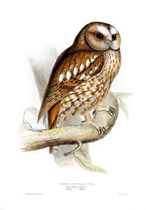 BIRDS OF EUROPE - TAWNY OR WOOD OWL (Strix aluco) by John Gould, London 1837