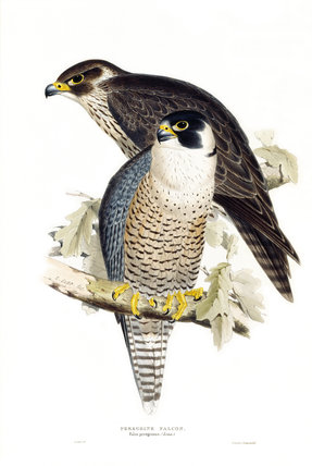 Birds of Europe - Peregrine Falcon, John Gould, 1837