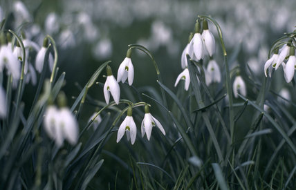Close view of Galanthus nivalis, snowdrops, which are spring flowering bulbs in Nymans Garden