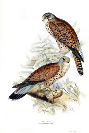 Birds of Europe - Kestrel, John Gould, 1837