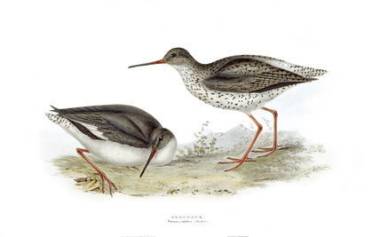 BIRDS OF EUROPE - REDSHANK (Totanus calidris) by John Gould, London 1837, from the Library at Blickling Hall