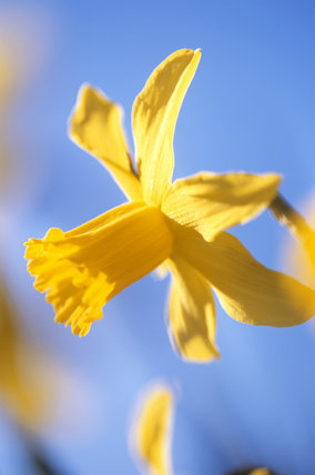Close up of a Narcissus 'February gold' growing in the garden at Sissinghurst