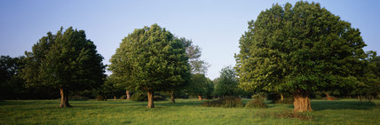 View of three large pollarded hornbeams in the field