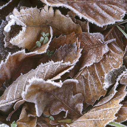 Close up of frosted leaves on the ground at Sutton Hoo
