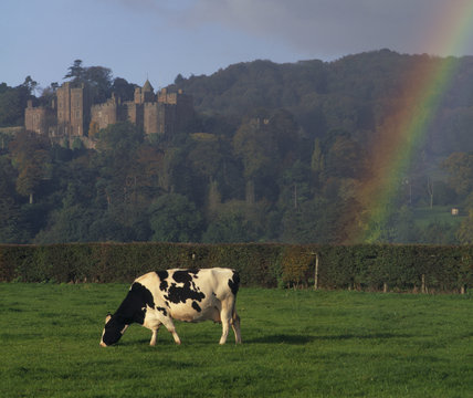 A view of a cow grazing in a field, with Dunster Castle in the background