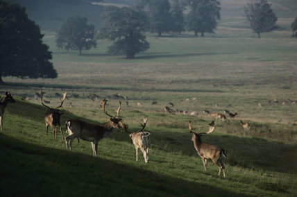 A Fallow deer, (Dama, dama), Herd in Petworth Park, Sussex