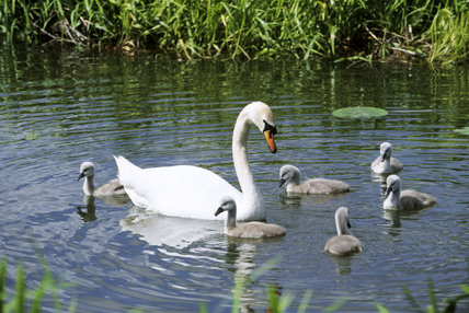 View of swan with cygnets on water with reeds in background