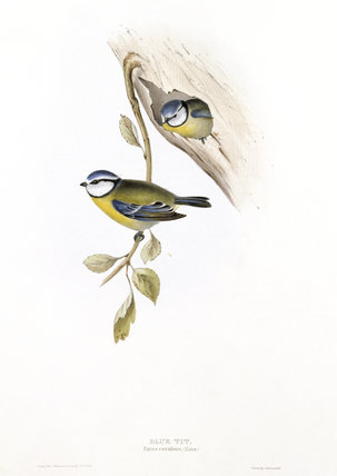 BIRDS OF EUROPE - BLUE TIT (Parus caeruleus) by John Gould, London 1837, from the Library at Blickling Hall