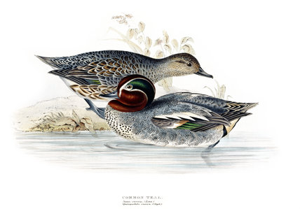 BIRDS OF EUROPE - COMMON TEAL (Anas crecca) by John Gould, London 1837, in the Library at Blickling Hall
