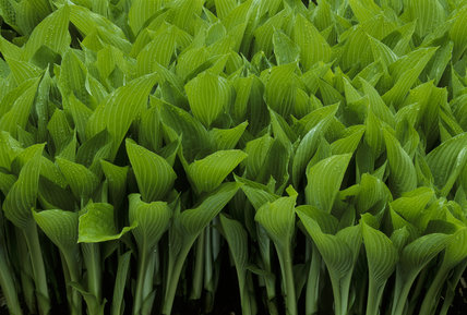 Close up of leaves of Hosta undulata erromena at Lanhydrock in the Long Border