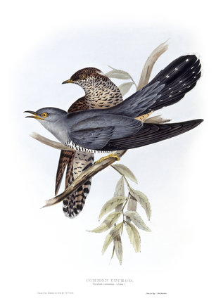 BIRDS OF EUROPE - COMMON CUCKOO. (Cuculus canorus) by John Gould, London 1837, from the Library at Blickling Hall.