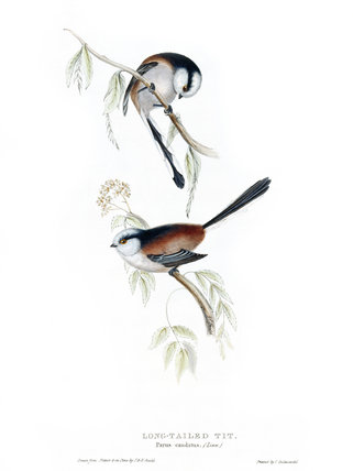 BIRDS OF EUROPE - LONG-TAILED TIT (Parus caudatus) by John Gould, London 1837, from the Library at Blickling Hall