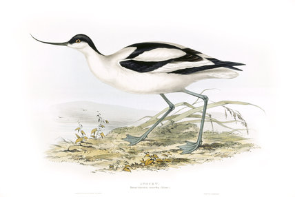 BIRDS OF EUROPE - AVOCET (Recurvirostra avocetta) by John Gould, London 1837, from the Library at Blickling Hall,
