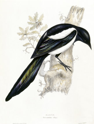 BIRDS OF EUROPE - MAGPIE (Pica caudata) by John Gould, London 1837, from the Library at Blickling Hall