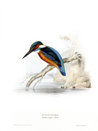 BIRDS OF EUROPE - KINGFISHER (Alcedo ispida) by John Gould, London 1837, from the Library at Blickling Hall