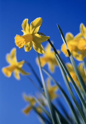 Close view of Narcissus