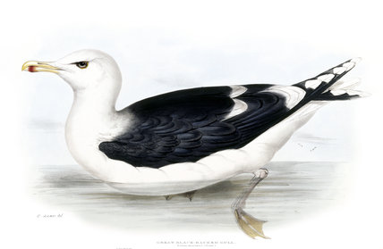 BIRDS OF EUROPE - GREAT BLACK-BACKED GULL (Larus marinus) by John Gould, London 1837, from the Library at Blickling Hall