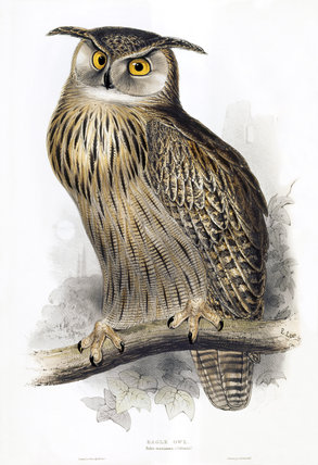 BIRDS OF EUROPE - EAGLE OWL (Bubo maximus) by John Gould, London 1837, from th Library at Blickling Hall