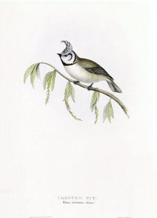 BIRDS OF EUROPE - CRESTED TIT (Parus cristatus) by John Gould, London 1837, from the Library at Blickling Hall