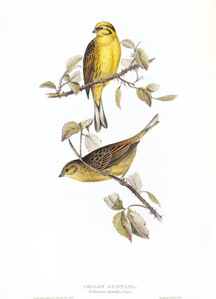 BIRDS OF EUROPE - YELLOW BUNTING (Emberiza citrinella) by John Gould, london 1837, from the Library at Blickling Hall