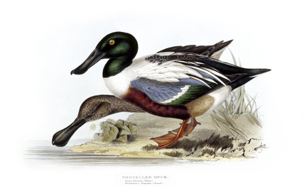 BIRDS OF EUROPE - SHOVELLER DUCK (Anas clypeata) by John Gould, London 1837, from the Library at Blickling Hall