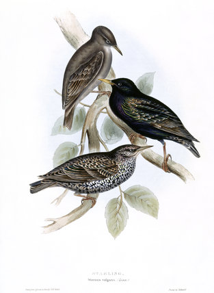 BIRDS OF EUROPE - STARLING (Sturnus vulgaris) by John Gould, London 1837, from the Library at Blickling Hall