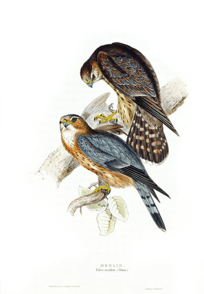 BIRDS OF EUROPE - MERLIN (Falco aesalon) by John Gould, London 1837, from the Library at Blickling Hall