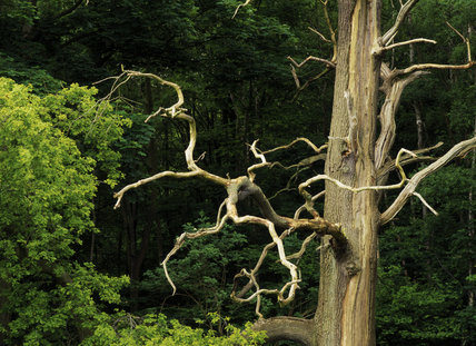 Close up of a bare tree trunk with curled and twisted branches, situated amongst a forested area of green bushy trees on the Runnymede are of meadows, woodlands and grasslands