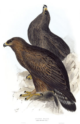 BIRDS OF EUROPE - GOLDEN EAGLE (Aquila chrysaeta) by John Gould, London 1837