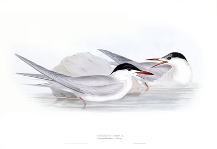 BIRDS OF EUROPE- COMMON TERN (Sterna hirundo) by John Gould, London 1837, from the Library at Blickling Hall