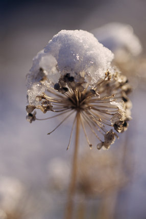 Snow melts on a Chinese Chive, Allium Tuberosum, taken in December at Sissinghurst Castle Garden