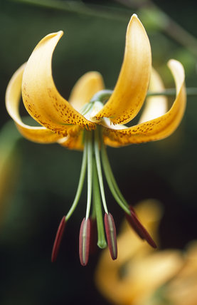 Close view of Lilium henryi at Hidcote Manor Garden